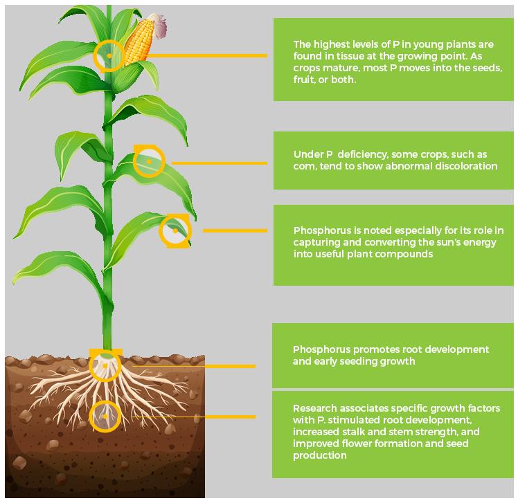 role of phosphorus in plants pdf
